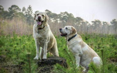 Labrador Retriever Dog Guide: Everything You need to Know